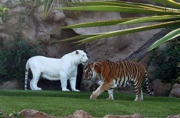 Tigre albino de bengala. Foto talesmaze.com