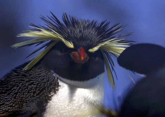 Unos pingüinos penacho amarillo, fotografiados por la agencia de noticias Reuters, en el zoológico Hellabrunn de Múnich, Alemania.