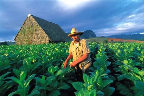 tabaco cubano