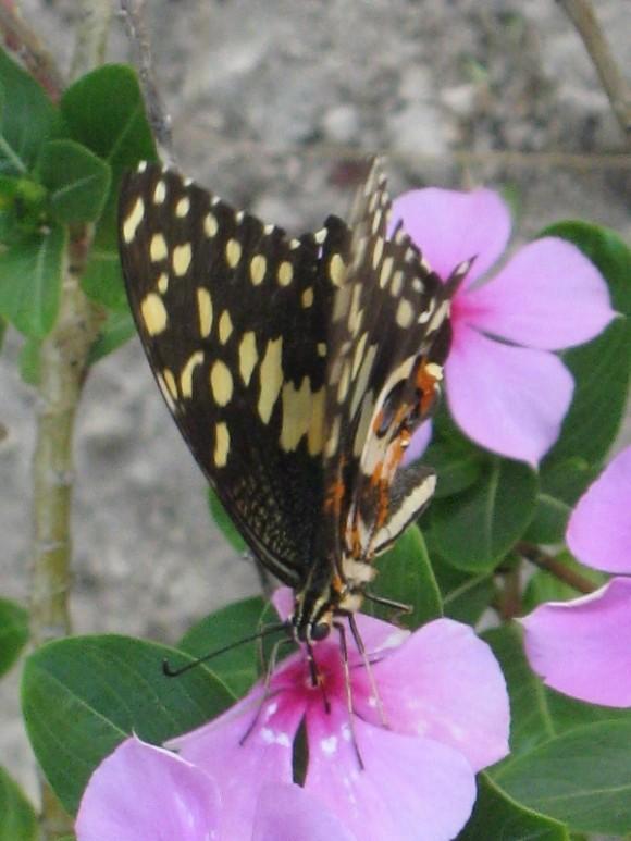 Momento Preciso. Mariposa liba una flor. Foto Rolando Peña Zayas.