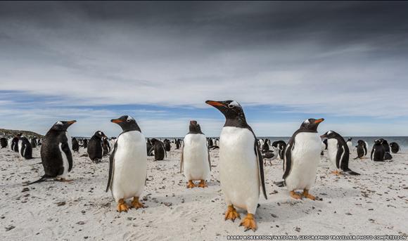 """Esta imagen de pingüinos paúa fotografiados en las islas Falkland o Malvinas por Barry Robertson fue la ganadora en la categoría """"Animal"""". Foto: BBC Mundo."""