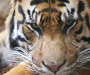El tigre, que es el animal nacional de la India y Bangladesh, es el felino más grande del mundo. Foto: Reuters.