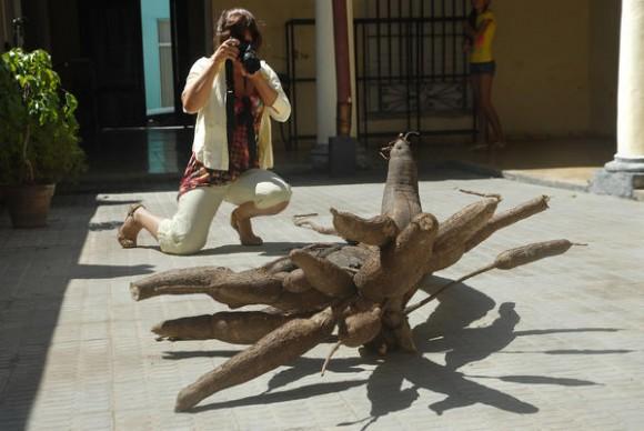 Cangre de yuca gigante, de 3.60 metros de longitud y 180 libras de peso, cosechado por Eddi Mulet Pupo, campesino de la UBPC José Marcial Pérez, en la Caridad del Sitio, municipio de Báguano, acapara la atención de transeúntes en el Museo de Historia Natural Carlos de la Torrre, en la ciudad de Holguín, Cuba, el 28 de febrero de 2015. AIN FOTO/Juan Pablo CARRERAS / Cubadebate