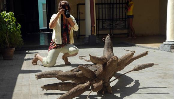CUBA-CANGRE DE YUCA GIGANTE ACAPARA LA ATENCION EN HOLGUIN