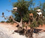 Cabras (1)