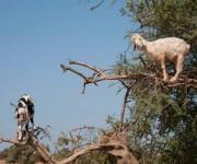 Cabras (2)