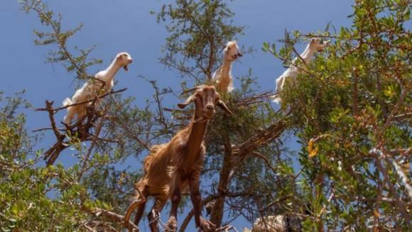 Cabras (4)