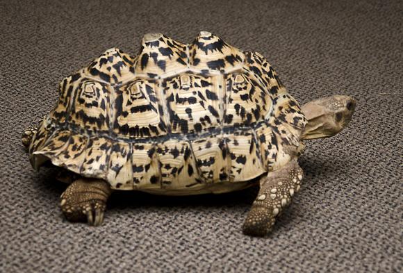 Cleopatra-tortuga, deformacion