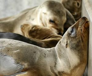 Cientos de bebés de león marino han aparecido en las playas de California en los últimos meses. Foto: Reuters.