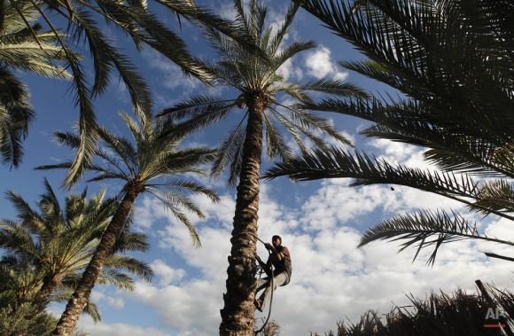 Un trabajador agrícola trepa a un árbol de palma. (Foto AP / Hatem Moussa)