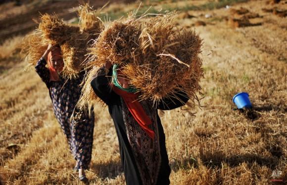 Las mujeres palestinas llevan montones de paja después de la cosecha de trigo en su campo en las afueras de la ciudad cisjordana de Ramallah, 10 de junio de 2009. (Foto AP / Muhammed Muheisen)