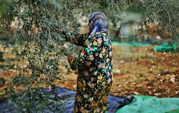 Una mujer palestina recoge aceitunas de sus olivos en la aldea cisjordana de Qariout, cerca de Naplusa el 13 de noviembre de 2009. (Foto AP / Muhammed Muheisen)