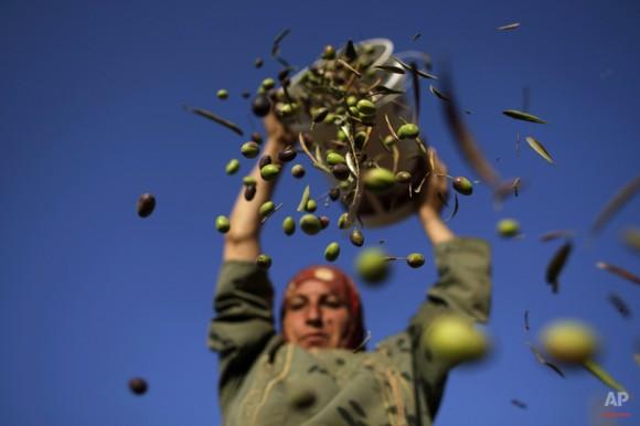 Palestino Eyad Umm, 45, vierte las aceitunas de un cubo cogió antes de la clasificación de las hojas, durante la cosecha en las afueras de la ciudad cisjordana de Ramallah, el 27 de septiembre de 2010. (Foto AP / Muhammed Muheisen)