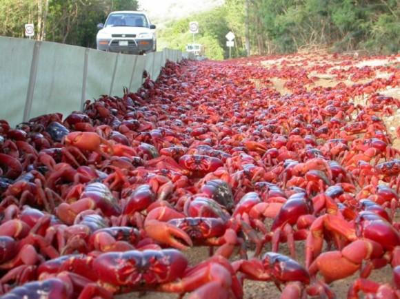 cangrejos rojos 12