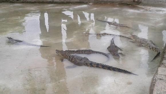 Cocodrilos cubano-rusos ya están en la Ciénaga de Zapata. Foto tomada de Girón
