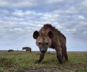 Las hienas usan una especie de grasa malolinete para marcar su territorio. Foto: Tomada de BBC Mundo.