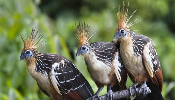 """El hoacín es conocido también como """"pava hedionda"""". Foto: Tomada de BBC Mundo."""