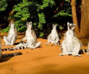 Los lemures hacen combates de olor. Fotos: Tomada de BBC Mundo.