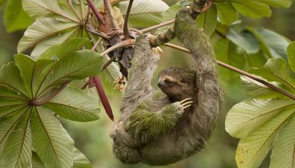 Los perezosos no huelen mal por sí mismos, sino como consecuencia de los animales y algas que hacen vida en su pelaje. Fotos: Tomado de BBC Mundo.