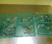 Aves confiscadas cuando la Aduana abortó una operación de contrabando. Foto: Aduana