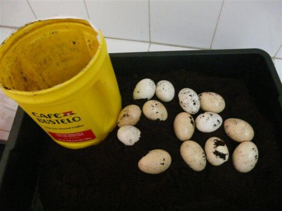 Huevos de aves que eran ocultados dentro del café. Foto: Aduana