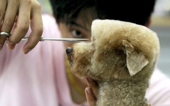 Un perro es preparado en una tienda de mascotas en Taipei, Taiwán. El peinado superior plana en perros pequeños toma alrededor de 2 horas en completarse. Foto:  Pichi Chuang/ Reuters.