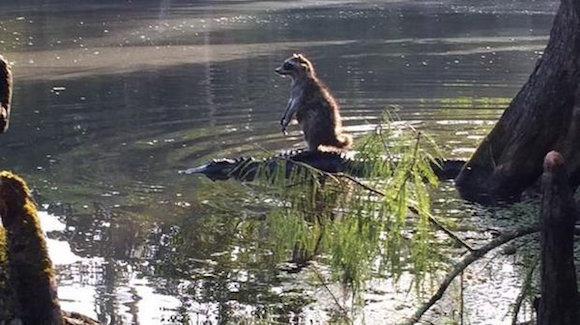 El mapache no se quedó mucho tiempo sobre el caimán. Foto: Richard Jones/Twitter.