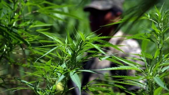 Se encontraron más de 109 mil plantas de marihuana.