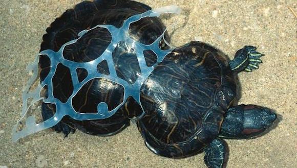 tortuga victima de la contaminación