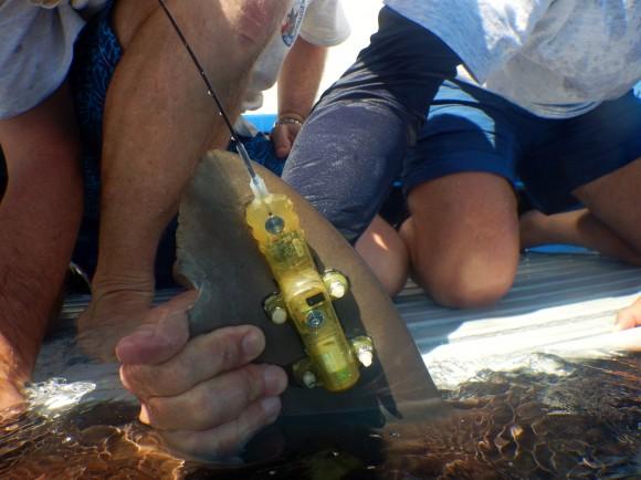 Tag satelital colocado en aleta dorsal de un tiburó. Foto: Mote Marine Lab