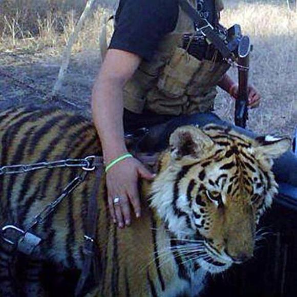 tigre-chapo