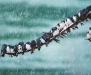 birds-keep-warm-bird-huddles-1__880