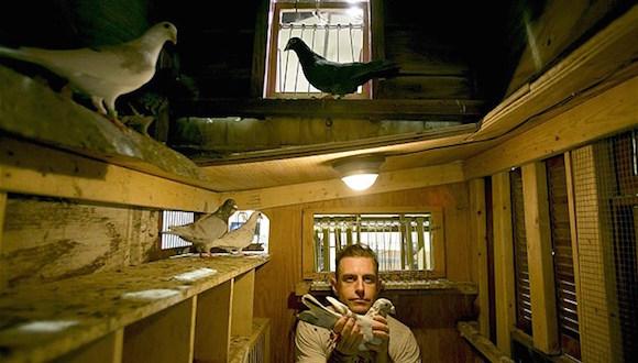 Un Colombofilo de mentirita. Dujke-pigeons