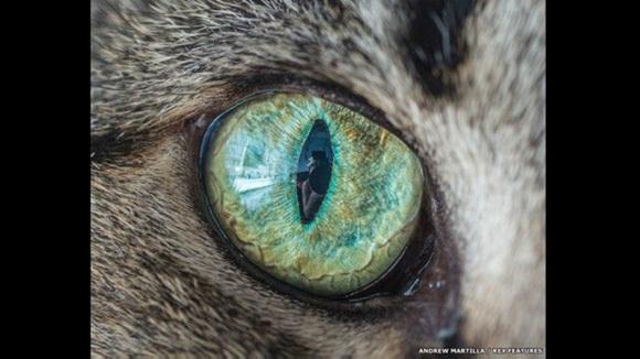 """""""Lograr que los gatos se queden quietos es quizás la parte más difícil de todo el proceso. Los gatos tienen su propio poder de decisión y ciertamente no obedecen órdenes como lo hacen sus contrapartes caninos"""", dice Marttila. Foto: El ojo de Kip el Gato. Andrew Marttila/REX"""