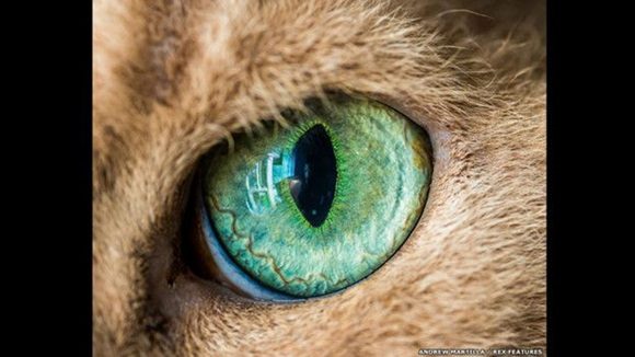 Los felinos también tienen ojos grandes para su tamaño, lo que les permite ver bien con luz de baja intensidad. FOTO: El ojo de Oberon el gato. Andrew Marttila/REX