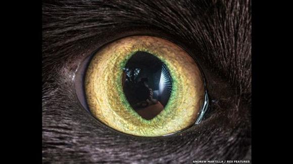 Sin embargo, los gatos no pueden enfocarse en objetos a menos de 30 cm. de distancia, así que usan sus bigotes para detectar todo lo que está cerca de su cuerpo. Foto: El ojo de Squeak el gato. Andrew Marttila/REX