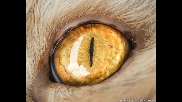 """""""Cuando tomo una imagen para un cliente, antes de sacar mi cámara trato de compenetrarme con el animal para hacerlo sentirse tranquilo junto a mi"""" explica Marttila. Foto: El ojo de Tim el gato. Andrew Marttila/REX"""