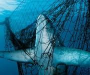 La sobreexplotación pesquera y la falta de medidas de protección marina han hecho que en 40 años algunas especies hayan desaparecido en un 75%.