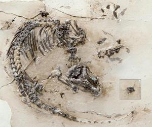 Fósil del nuevo mamífero de 125 millones de años llamado 'Spinolestes xenarthrosus'.