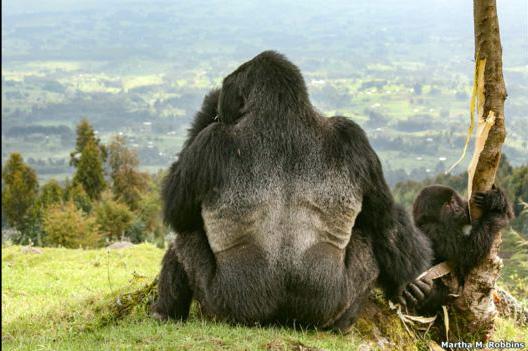 El segundo lugar de la categoría Ciencia Ambiental lo obtuvo Martha M. Robbins, de Alemania, por su foto de un gorila de espaldas. La imagen la captó en el Parque Nacional de Volcanes de Ruanda. Tanto el gorila como su cría estaban masticando corteza de eucalipto.