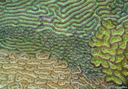 Esta es la foto de Evan D'Alessandro's en la que se observa una única colonia de coral cerebro en el Caribe. Esta imagen compitió en la categoría Ciencia Ambiental.