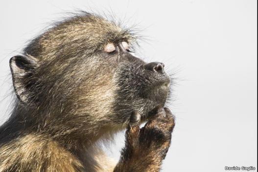 Este babuino parece haberse perdido en sus pensamientos. El momento lo captó Davide Gaglio y la imagen fue resaltada por Evolutionary Biology. La foto ganadora y todos los finalistas se exhibirán en una exposición que abrirá la Royal Society esta semana.