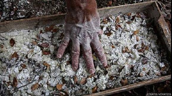 La aromática mastiha tiene numerosos usos, desde alimentarios hasta medicinales. Foto: Stratis Voyatzis.
