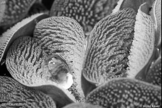 """Ulrike Bauer salió vencedor en la categoría de Biología Evolutiva con esta imagen de unas hojas del helecho acuático (Salvinia molesta) cubiertas por una especie de vellos. Este trabajo fue titulado: """"Helecho con un traje seco""""."""