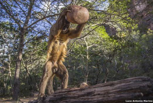 Un mono capuchino salvaje (Sapajus libidinosus) usa una piedra para romper una nuez en Fazenda Boa Vista, Piauí, en Brasil. La foto, que fue captada por Luca Antonio Marino, fue una de las finalistas de la categoría: Comportamiento.
