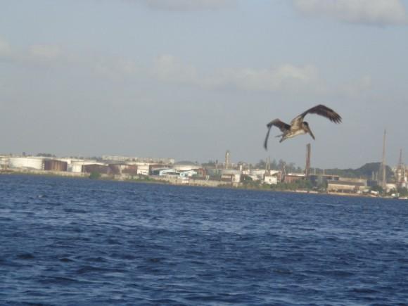 Llegaron los peces en la Bahía de La Habana. Foto: Roxana Badosa / Cubadebate