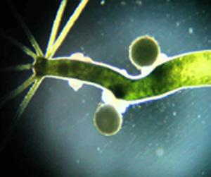 lolhidra-viridis