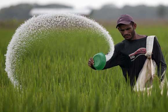 La colaboreación Cuba-Vietnam ha aumentado la producción arrocera en Cuba. Foto: Carlos Garcia Rawlins/Reuters
