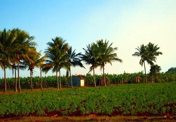 Agricultura, Cuba.  Foto: José Raúl Concepción/Cubadebate.