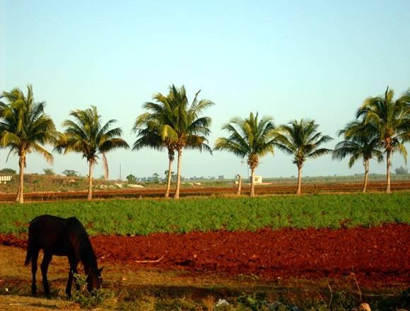 Sembradío de cultivos varios. Foto: Jose Raúl Concepción / Cubadebate.
